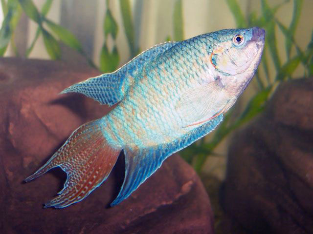 Bright Blue Paradise Fish L